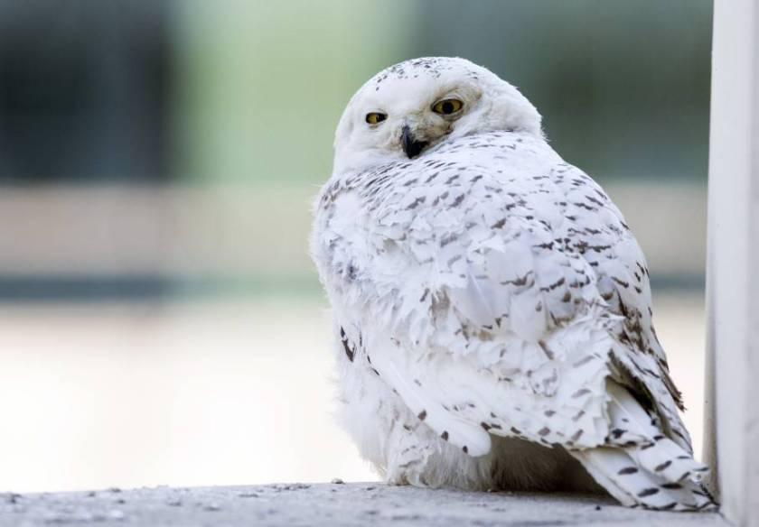 Washington_Snowy_Owl-06547-ODFJ
